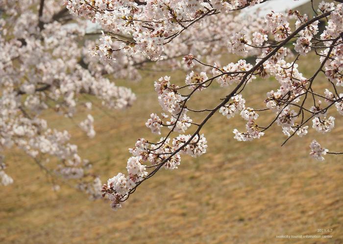 《いわき市桜情報2019》21世紀の森公園のソメイヨシノが見頃となりました! [平成31年4月7日(日)更新]9