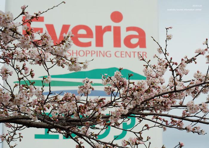 《いわき市桜情報2019》鹿島千本桜がほぼ満開となっています! [平成31年4月8日(日)更新]9