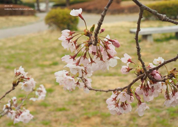 《いわき市桜情報2019》三崎公園でお花見を楽しましょう♪ [平成31年4月8日(日)更新]9
