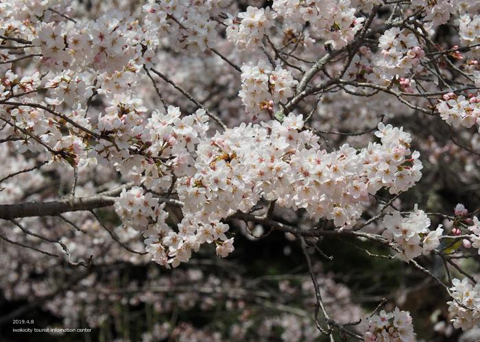《いわき市桜情報2019》薬王寺参道のソメイヨシノ [平成31年4月8日(月)更新]9