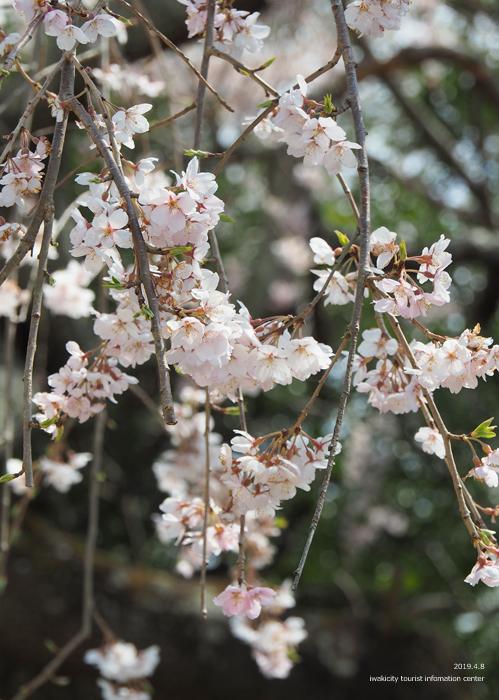 《いわき市桜情報2019》平幕ノ内 稲荷神社のシダレザクラ [平成31年4月8日(月)更新]9