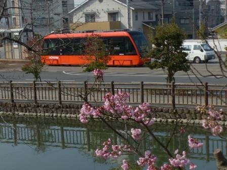 椿寒桜 と 市内電車 (モハ5000形)