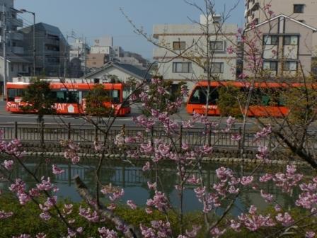 椿寒桜 と 市内電車 (モハ2100形・モハ5000形)
