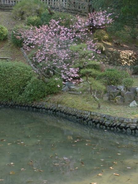 道後公園 椿寒桜 9