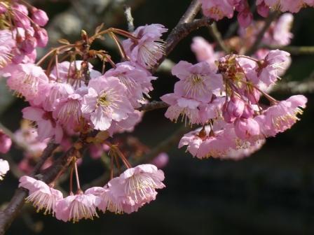 道後公園 椿寒桜 6