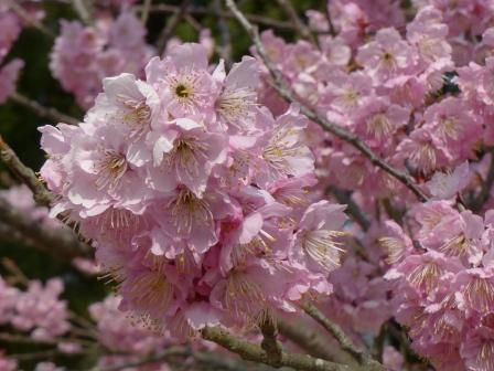 道後公園 椿寒桜 8