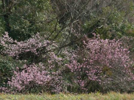 道後公園 椿寒桜 10