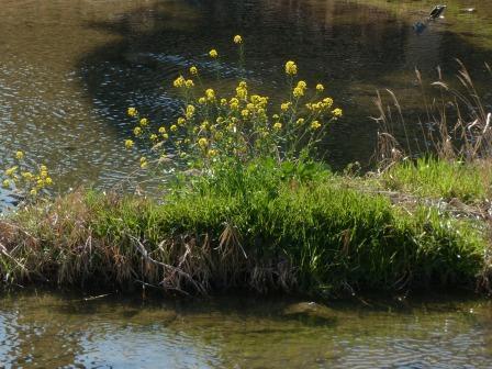 石手川緑地 菜の花 1