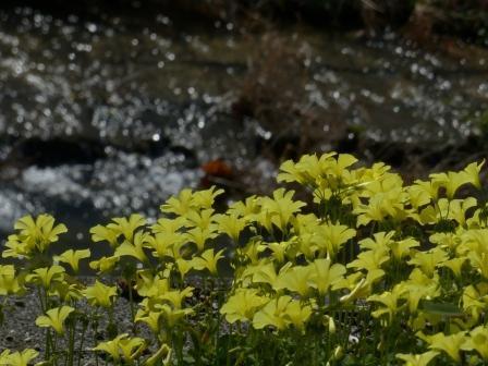 石手川緑地 オオキバナカタバミ 2