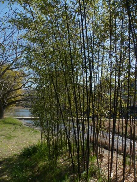 石手川緑地 黒竹