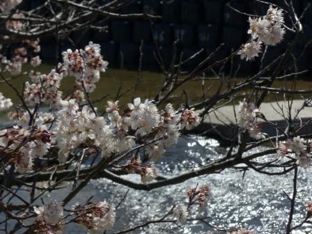 石手川緑地 白梅 1