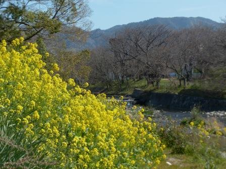 石手川緑地 菜の花 2
