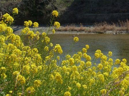 石手川緑地 菜の花 3