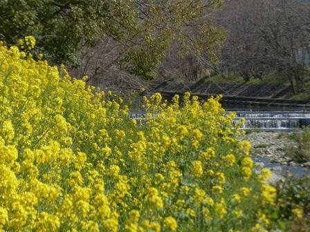 石手川緑地 菜の花 4