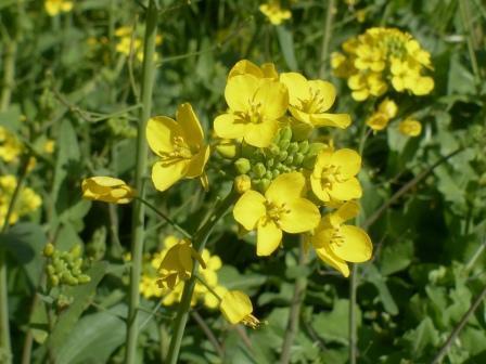 石手川緑地 菜の花 6