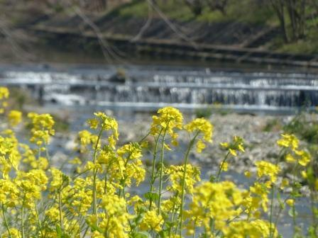 石手川緑地 菜の花 7