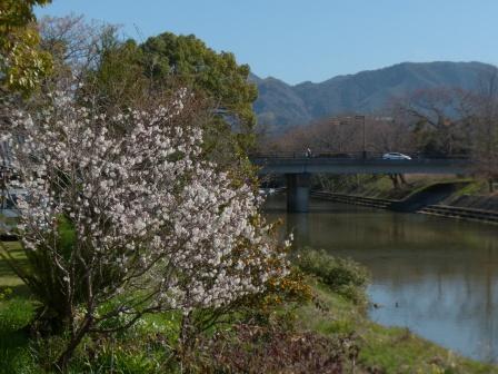 石手川緑地 白梅 2