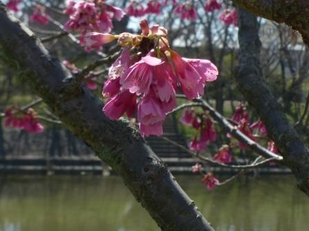 石手川緑地 寒緋桜 1
