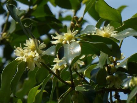 シキミの花 2