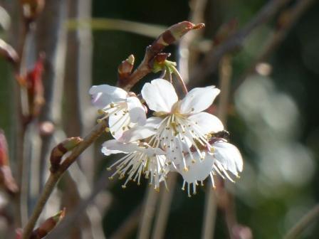桜の仲間 ? 1