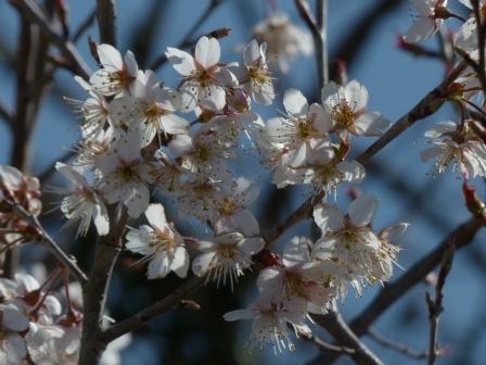 桜の仲間 ? 2