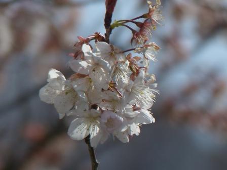 咲き残りの 十六日桜 1