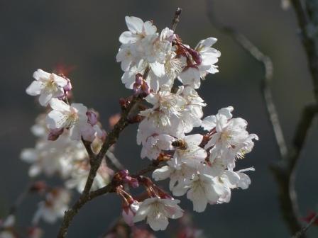 咲き残りの 十六日桜 2
