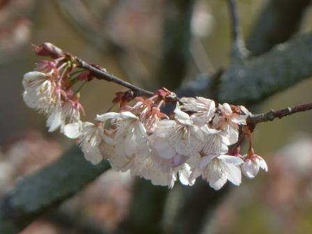 咲き残りの 十六日桜 3