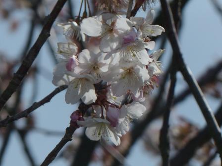 咲き残りの 十六日桜 4