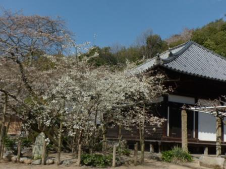 大宝寺のうば桜 1