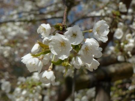 大宝寺のうば桜 2