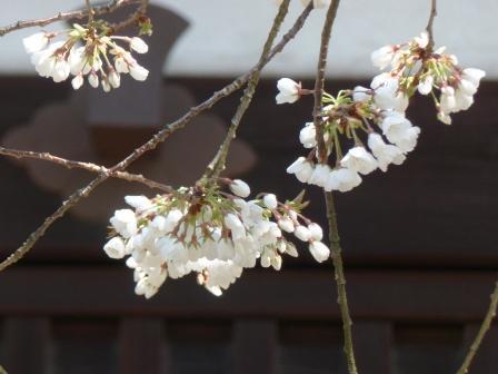 大宝寺のうば桜 9