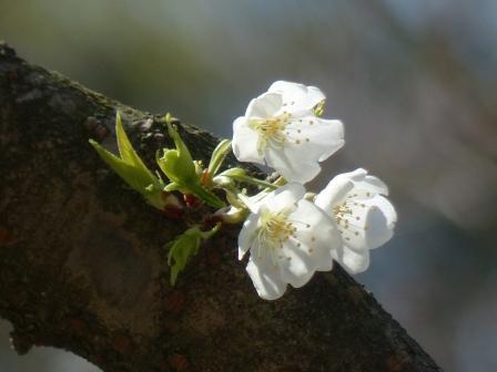 大宝寺のうば桜 4