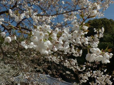 大宝寺のうば桜 6