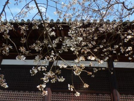 大宝寺のうば桜 8