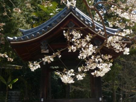 大宝寺のうば桜 10