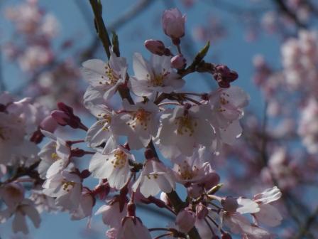 少し早咲きの桜 1