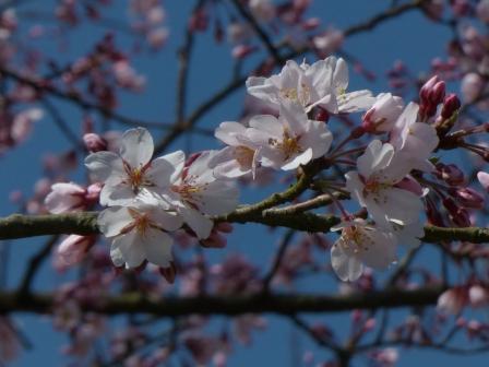 少し早咲きの桜 2