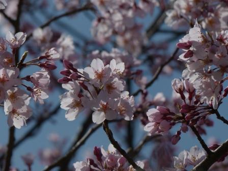 少し早咲きの桜 3