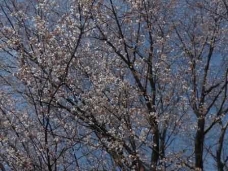 松山総合公園 山桜 3