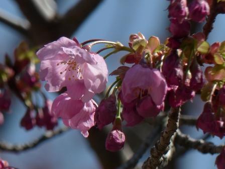 松山総合公園 陽光 (桜) 1