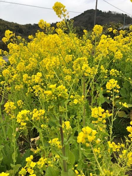 IMG_2653 菜の花