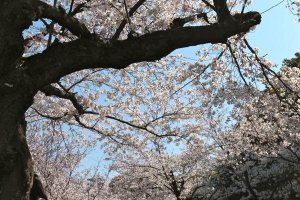 IMG_3161 桜②