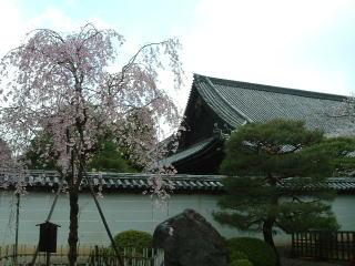 しだれ桜「美幸」