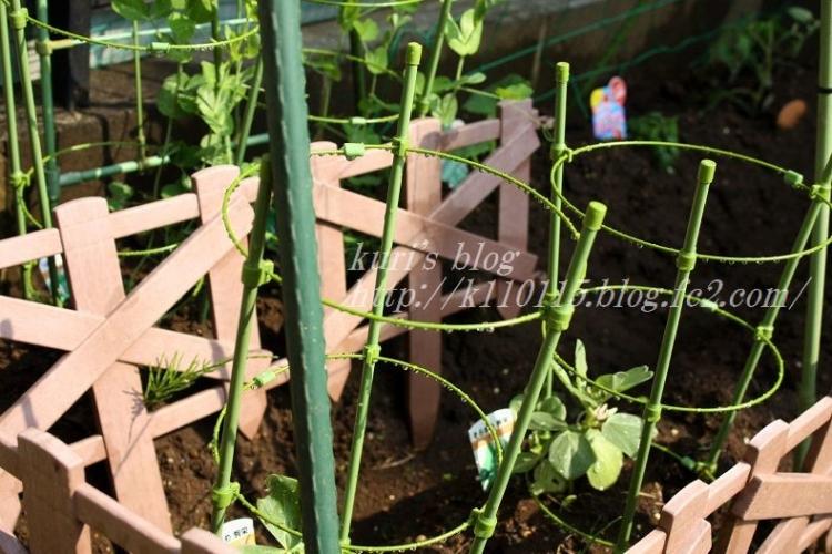 2019家庭菜園始めました (3)