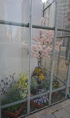 H市徘徊 桜?