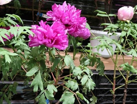 道の駅日光 牡丹室内庭園 写楽