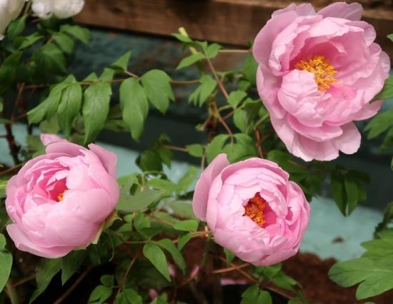 道の駅日光 牡丹室内庭園 村松の桜