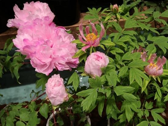 道の駅日光 牡丹室内庭園 (右)胡蝶の舞 (左)春光寿