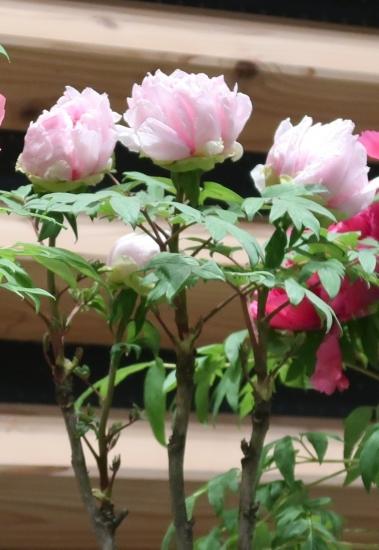 道の駅日光 牡丹室内庭園 春の詩